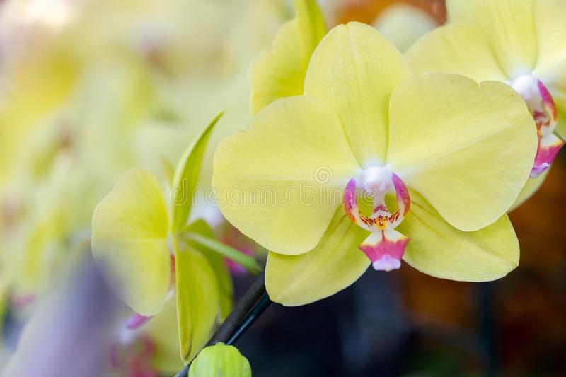 Orchid flower in orchid garden at winter or spring day for beauty and agriculture concept design. Phalaenopsis orchid.  stock photography