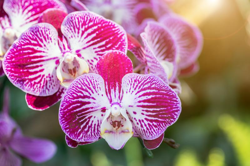 Orchid flower in orchid garden at winter or spring day for beauty and agriculture concept design. Phalaenopsis orchid.  stock image