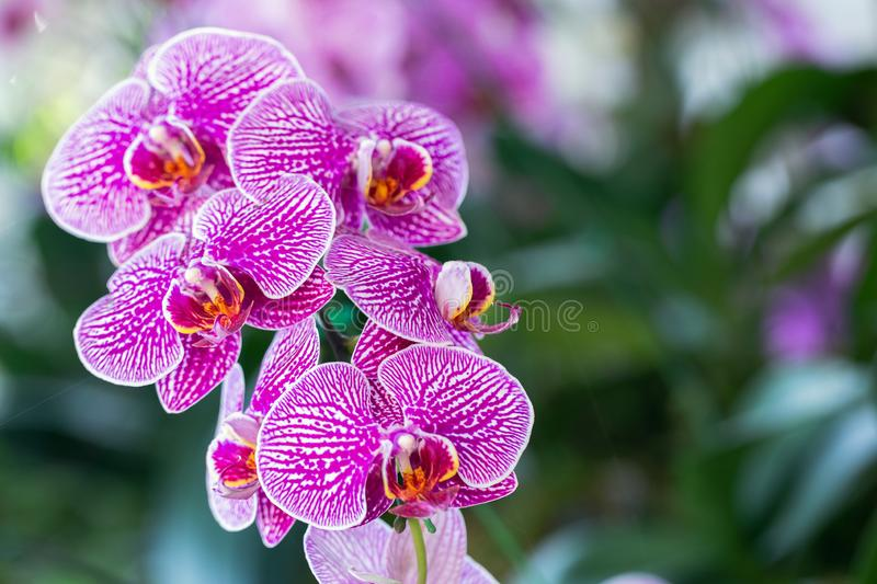 Orchid flower in orchid garden at winter or spring day for beauty and agriculture concept design. Phalaenopsis Orchidaceae.  royalty free stock image