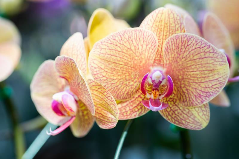 Orchid flower in orchid garden at winter or spring day for beauty and agriculture concept design. Phalaenopsis Orchidaceae royalty free stock images
