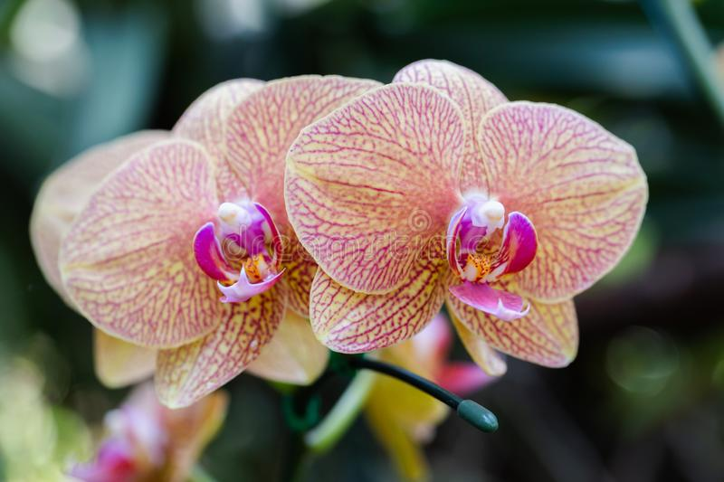Orchid flower in orchid garden at winter or spring day for beauty and agriculture concept design. Phalaenopsis Orchidaceae stock photography