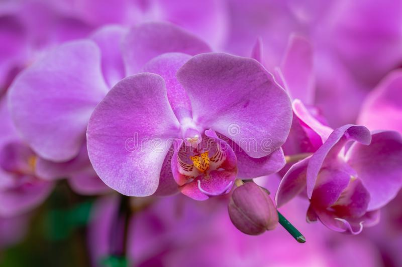 Orchid flower in orchid garden at winter or spring day for beauty and agriculture concept design. Phalaenopsis Orchidaceae stock image