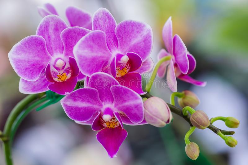 Orchid flower in orchid garden at winter or spring day for beauty and agriculture concept design. Phalaenopsis Orchidaceae royalty free stock image