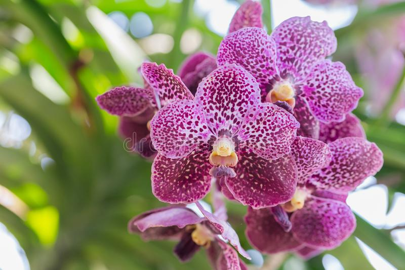 Orchid flower in orchid garden at winter or spring day for beauty and agriculture concept design. Vanda Orchid.  stock photography