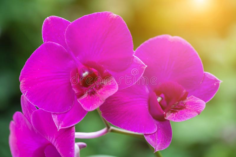Orchid flower in orchid garden at winter or spring day for beauty and agriculture concept design. Vanda Orchid.  royalty free stock photo