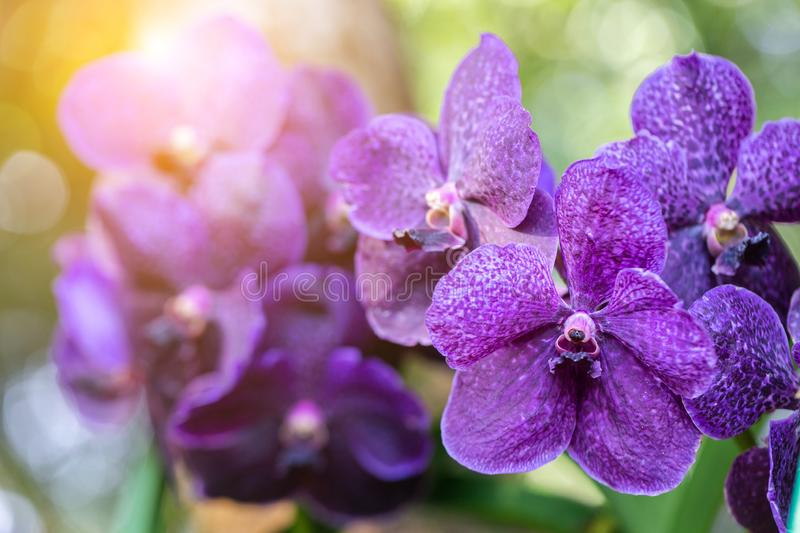 Orchid flower in orchid garden at winter or spring day for beauty and agriculture concept design. Vanda Orchidaceae.  royalty free stock photography