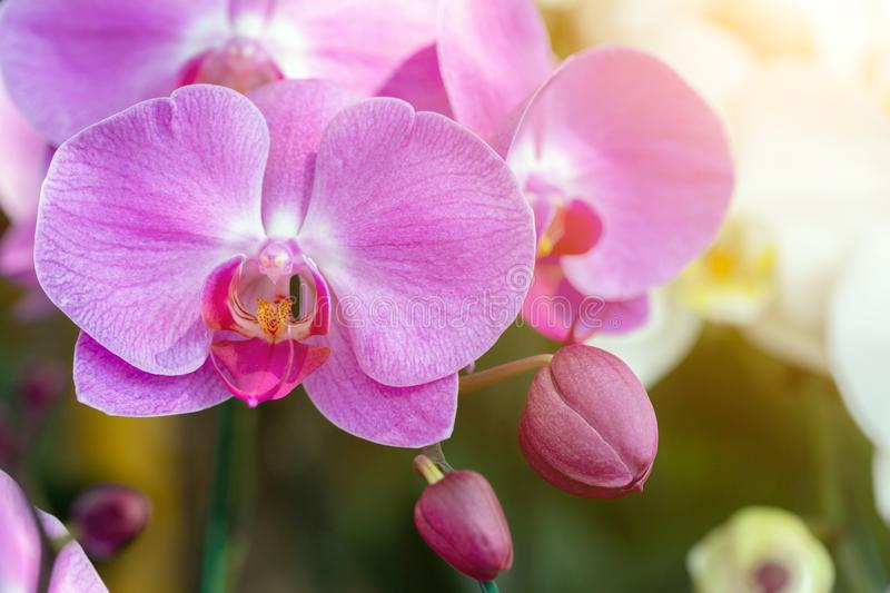 Orchid flower in orchid garden at winter or spring day for postcard beauty and agriculture design. Phalaenopsis orchid. Orchid flower in orchid garden at winter royalty free stock photography