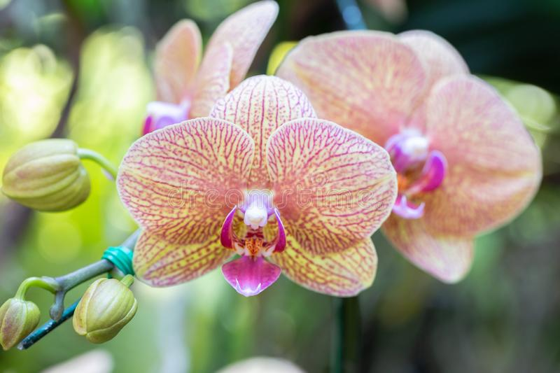 Orchid flower in orchid garden at winter or spring day for postcard beauty and agriculture design. Phalaenopsis orchid. Orchid flower in orchid garden at winter stock image