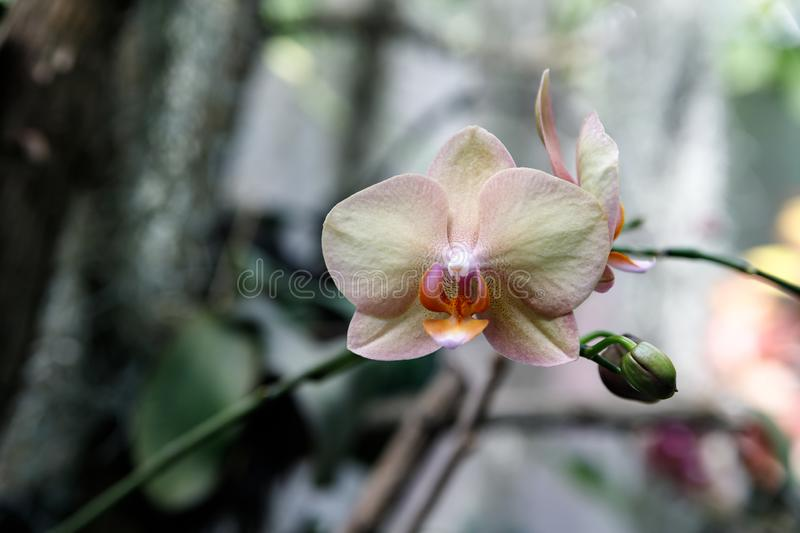Orchid flower in garden at winter or spring day for postcard beauty and agriculture idea concept design. Phalaenopsis orchid stock photography