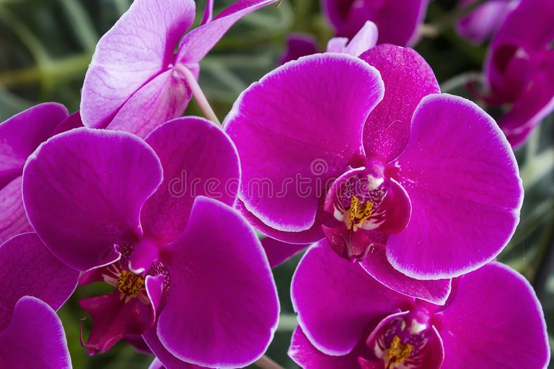 Orchid flower in garden at winter or spring day for postcard beauty and agriculture idea concept design. Phalaenopsis orchid. Orchid flower in garden at winter royalty free stock photography