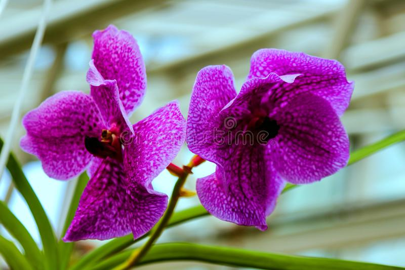 Orchid flower in garden at winter or spring day for postcard beauty and agriculture idea concept design. Phalaenopsis orchid stock image