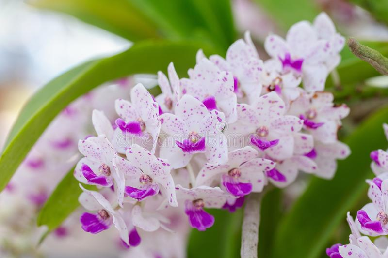 Orchid flower in orchid garden at winter or spring day for postcard beauty and agriculture idea concept design. Rhynchostylis. Orchid stock photos