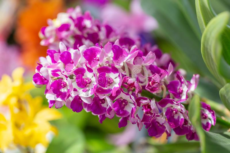 Orchid flower in orchid garden at winter or spring day for postcard beauty and agriculture design. Rhynchostylis Orchid. Orchid flower in orchid garden at stock photos