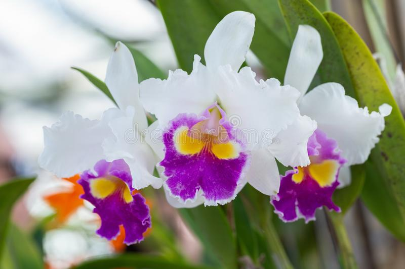 Orchid flower in orchid garden at winter or spring day for beauty and agriculture concept design. Cattleya Orchid.  royalty free stock photos