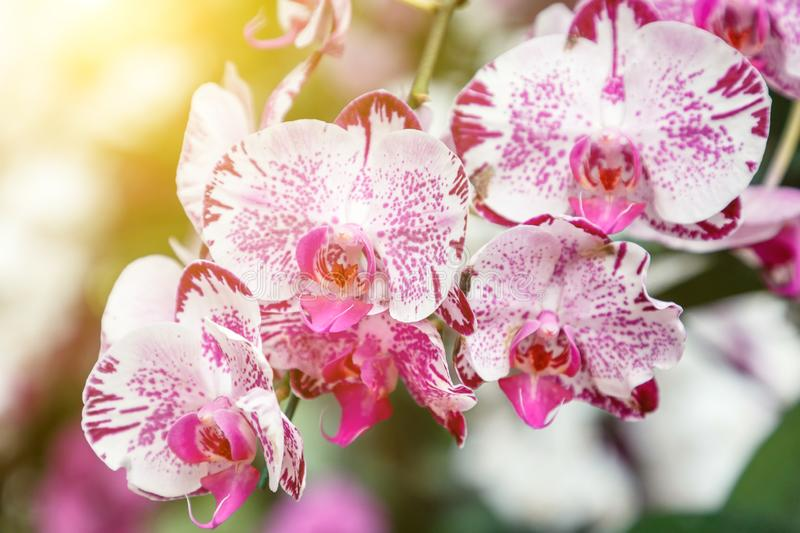 Orchid flower in orchid garden at winter or spring day for beauty and agriculture concept design. Phalaenopsis orchid.  royalty free stock images