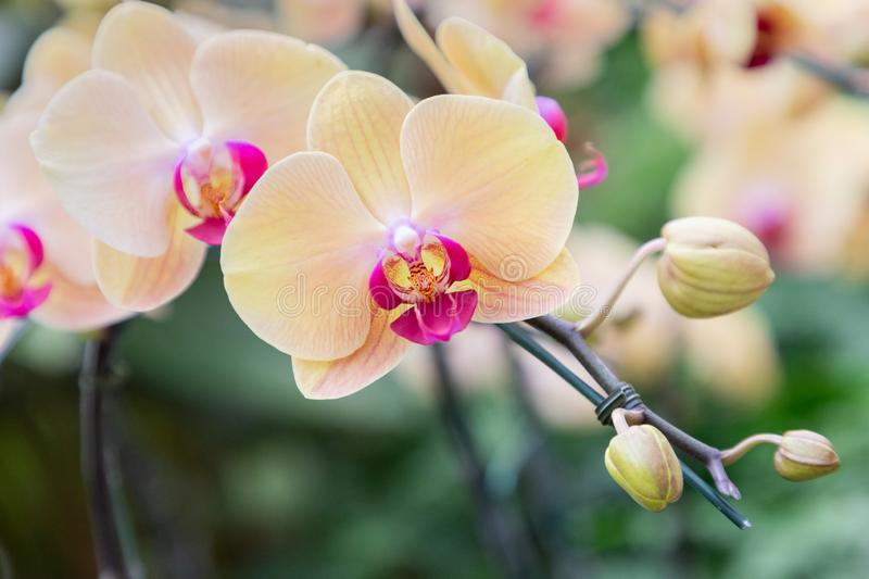 Orchid flower in orchid garden at winter or spring day for beauty and agriculture concept design. Phalaenopsis orchid.  royalty free stock photos