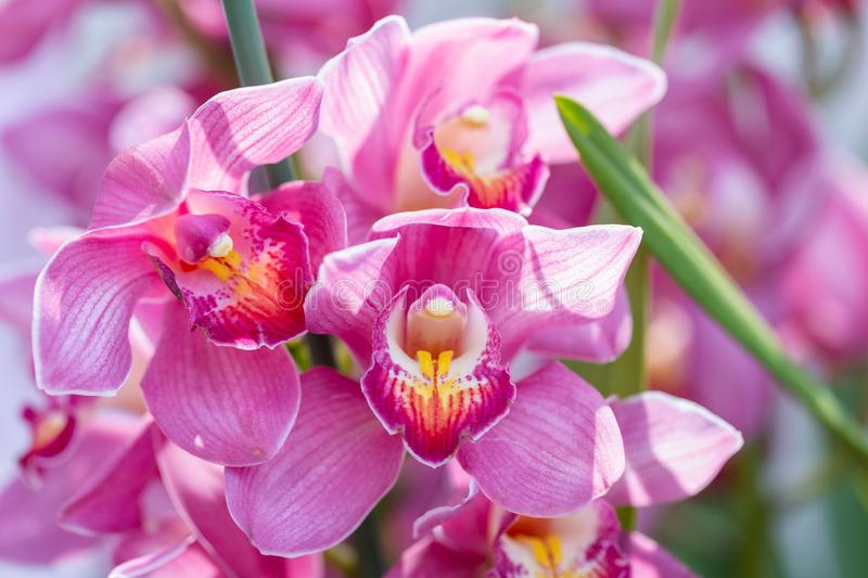 Orchid flower in orchid garden at winter or spring day for beauty and agriculture design. Cymbidium Orchid.  stock photos