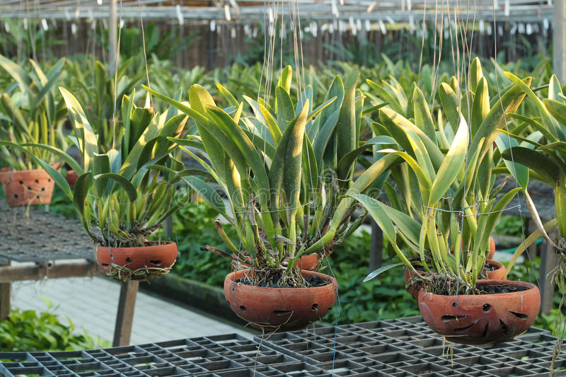 Orchid flower pots on a plant nursery. In the orchid farm stock photo
