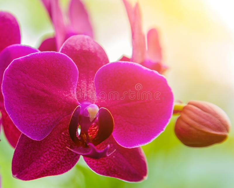 Orchid flower sunset tone royalty free stock photos