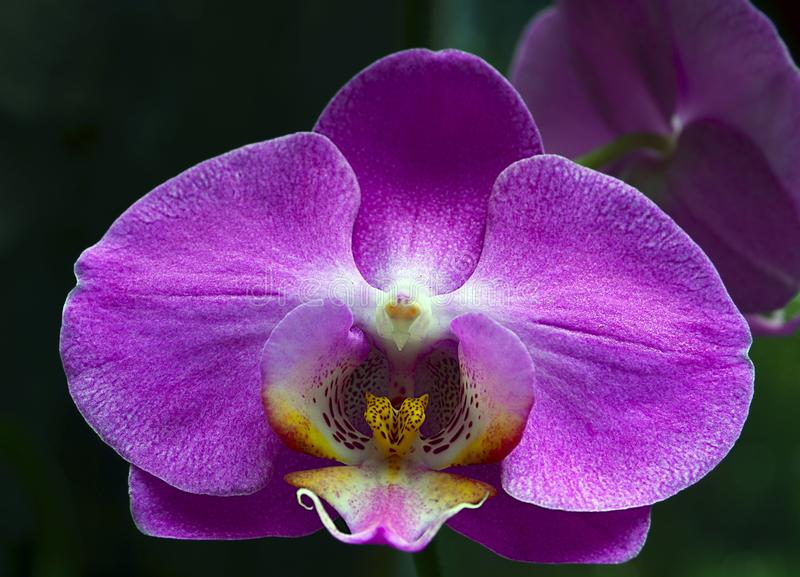 Orchid flower in tropical garden.Phalaenopsis Orchid flower growing on Tenerife,Canary Islands. royalty free stock photography