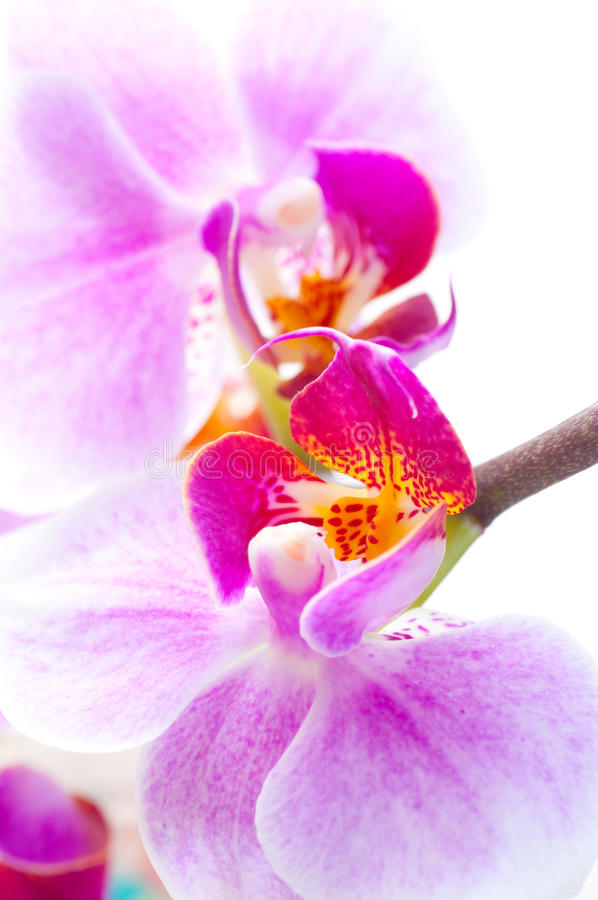 Download Orchid flower on white. stock photo. Image of blossoms - 13541864