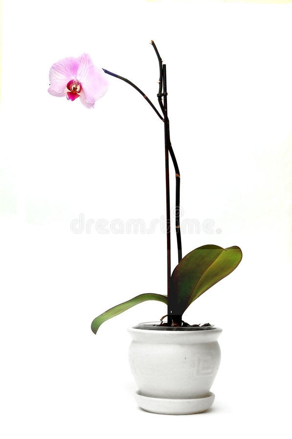 Orchid in flowerpot royalty free stock photography