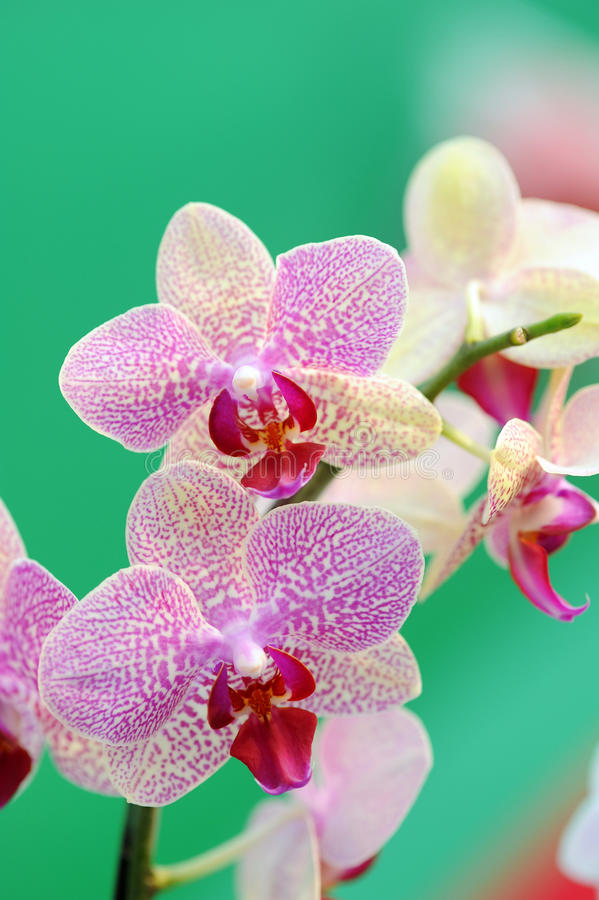 Orchid flowers royalty free stock photos