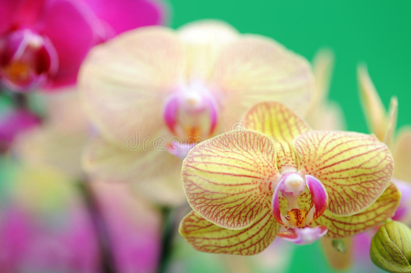 Orchid flowers stock images