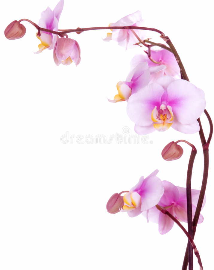 Orchid flowers. Isolated on white background