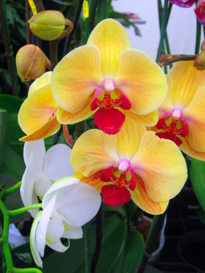 Download Orchid flowers stock image. Image of plants, green, flowers - 6458415