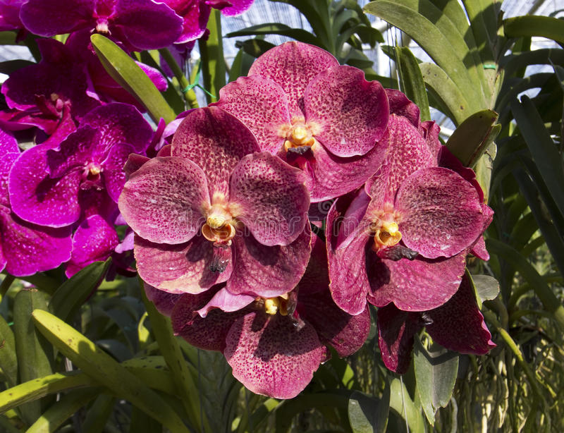 Orchid. Flowers in Chiangmai, Thailand stock images