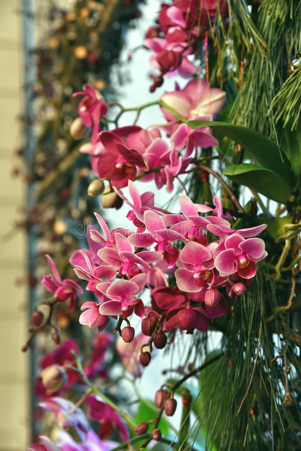 Orchid flowers christmas decore interior. Branch of pink orchid flowers set as Christmas decor, interior design royalty free stock image