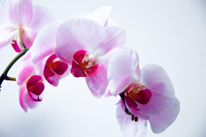 Orchid Flowers Free Public Domain Cc0 Image