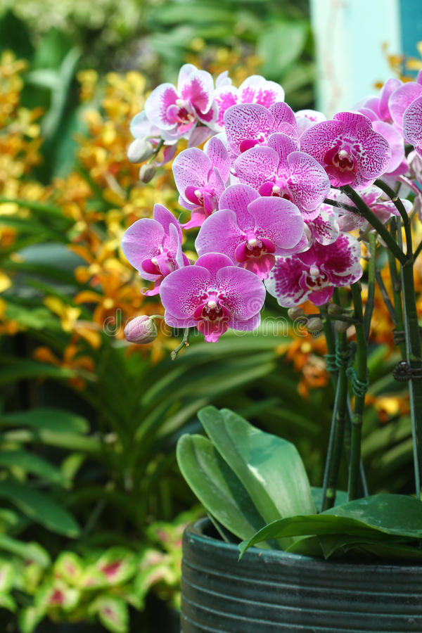 Download Orchid Flowers Display - Series 2 Stock Image - Image: 31779667