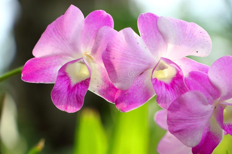 Orchid flowers in the garden royalty free stock photo