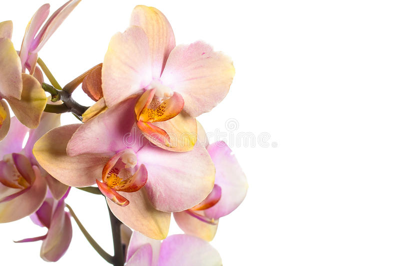 Orchid flowers. Isolated on white background royalty free stock photo