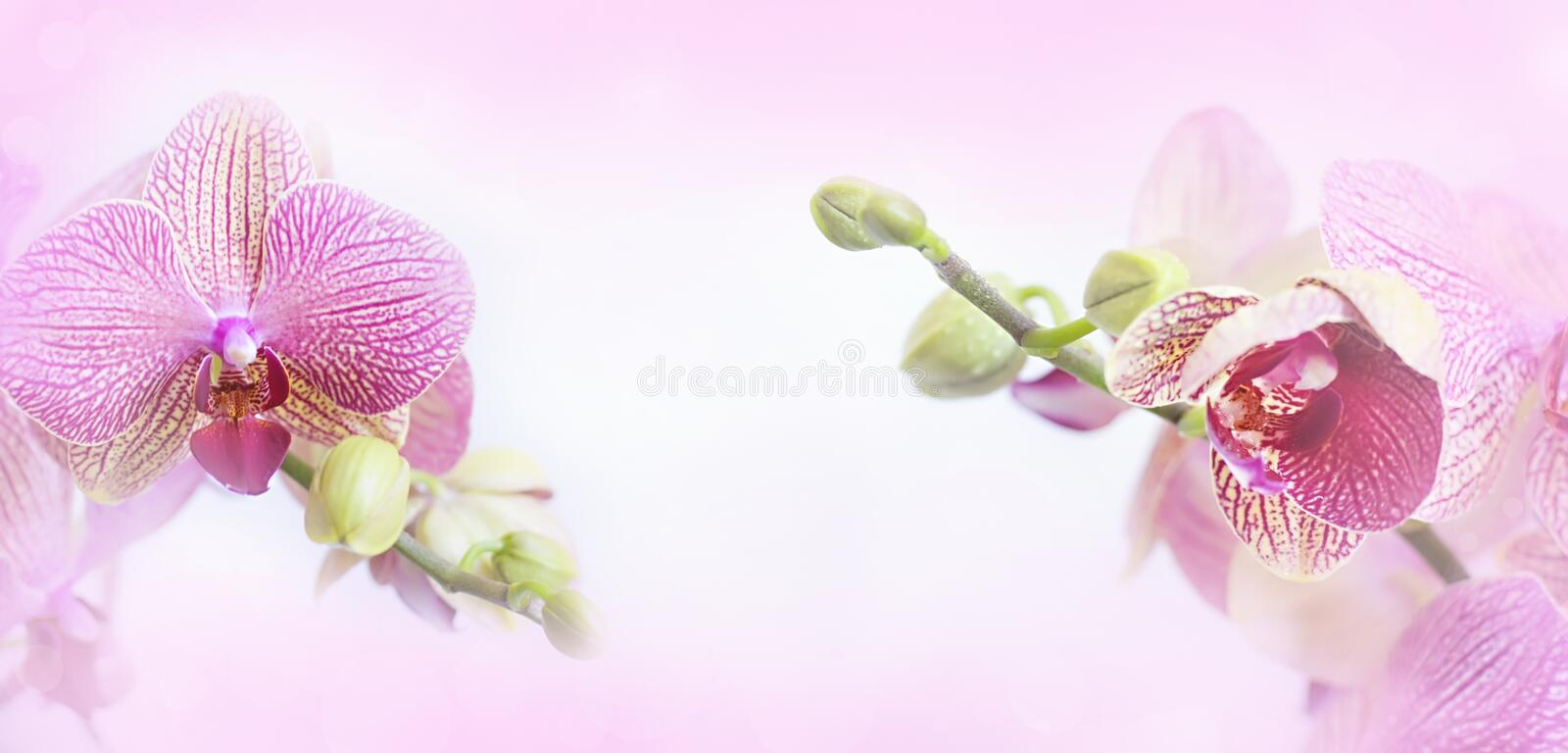 Download Orchid Flowers. Stock Photo - Image: 41456799