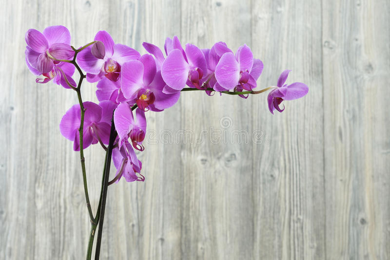 Download Orchid flowers stock photo. Image of beauty, congratulation - 33485476