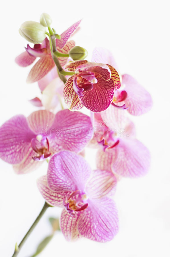 Orchid Flowers. Stock Photo