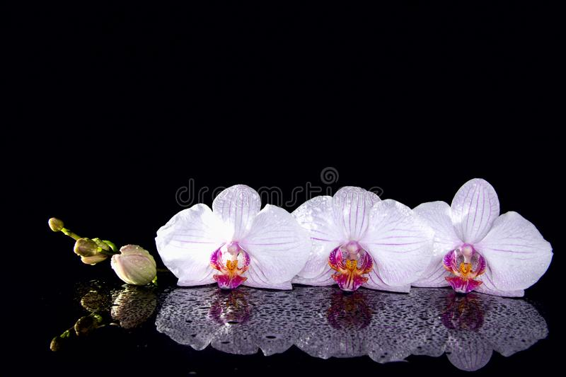 Orchid flowers with water droops and reflection on a black background. royalty free stock photography