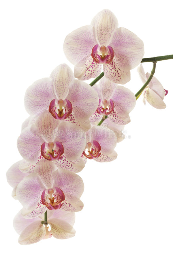 Orchid. Flowers on white background royalty free stock photos