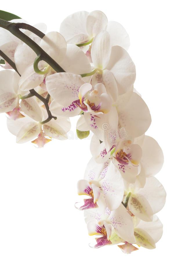 Orchid. Flowers on white background stock images