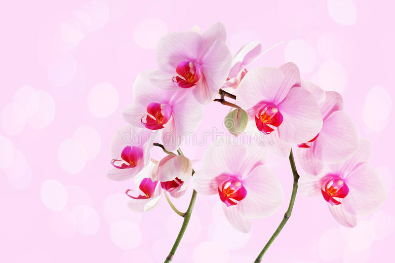 Download Orchid stock image. Image of elegance, boke, pink, botany - 36664503
