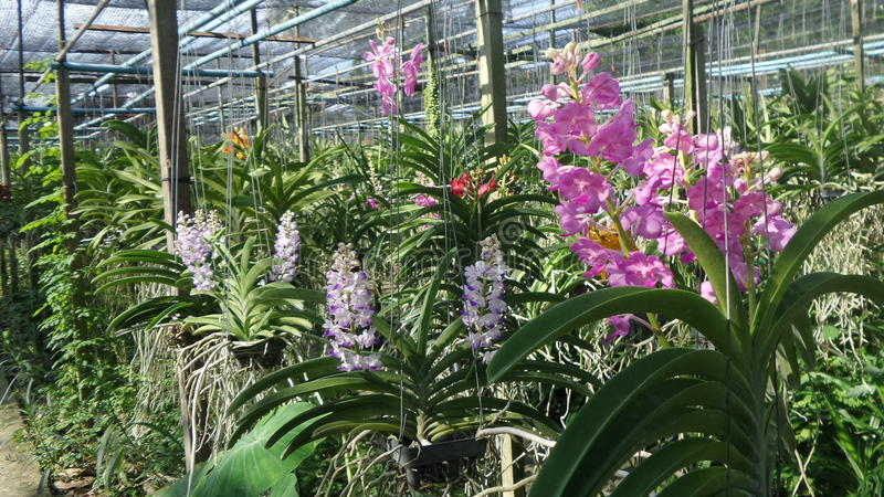 Orchid garden in Thonburi Thailand. Variety of colourful orchid in orchid farm . Thailand is home to numerous species of orchids. Orchid can easily find and buy stock photo