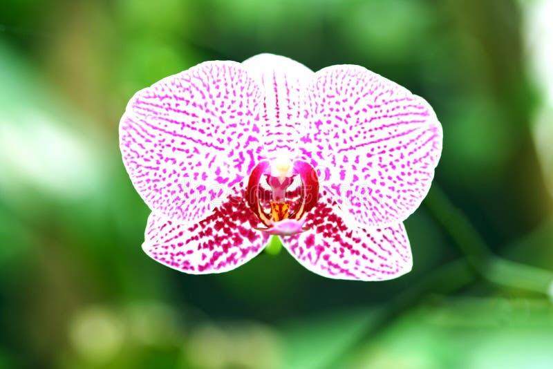 Orchid genus Vanda flower purple blooming on the tree royalty free stock photo