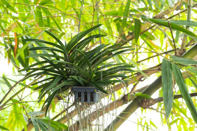 Orchid hanging on bamboo. royalty free stock photo