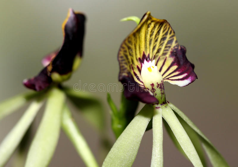 Download Orchid heart stock photo. Image of harmony, botanic, flower - 16706860
