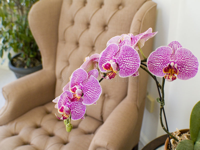 Orchid in the home royalty free stock photo