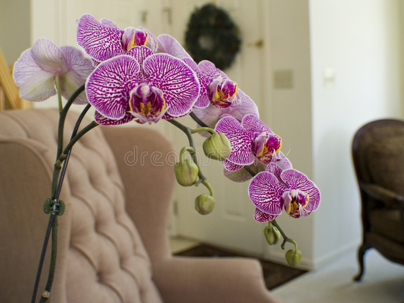 Orchid in the home royalty free stock photos