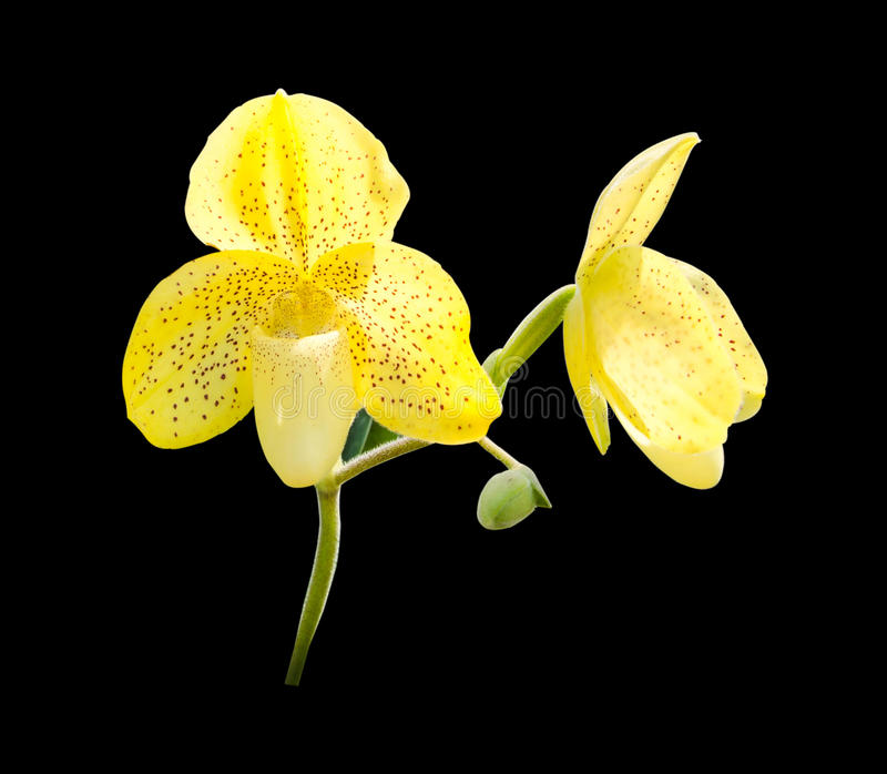 Orchid isolated on black background.  royalty free stock photo